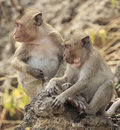 Crab eating macaque macaca irus monkey on tree Stock Images