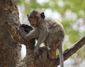 Crab eating macaque macaca irus monkey on tree Royalty Free Stock Images