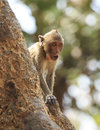 Crab eating macaque macaca irus monkey on tree Royalty Free Stock Photo