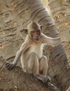 Crab eating macaque macaca irus monkey on tree Royalty Free Stock Photography