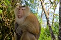 Crab eating macaque monkey asia thailand in a forest in phuket Stock Photo