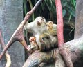 Crab eating macaques macaca fascicularis sitting branch Stock Photos