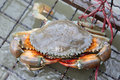 Crab farm for seafood resturant in thailand Stock Photos