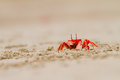 Crab feeding on the beach close up Royalty Free Stock Image