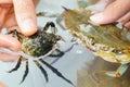 Crab fighting