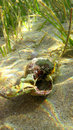 Crab inside shell in sea Stock Photo