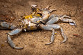 Crab remains on sand in the beach Royalty Free Stock Image