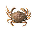 Crab small on a pacific ocean beach isolated Royalty Free Stock Photography