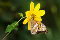 Crab spider eating butterfly in wild yellow ambushed foraging variegated fritillary on flower north carolina goldenrod misumena Royalty Free Stock Photos