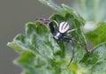 Crab -spider