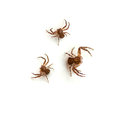 Crab spider ground spiders xysticus on white background Stock Photo