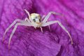 Crab spider macro on blue clematis flower Royalty Free Stock Image