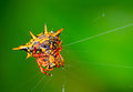 Crab spider macro of on web Stock Images