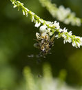 Crab spider a white and prey in natural green blurry back Stock Images