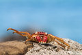 Crab on stone small red fijian Stock Photography