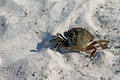 Crab walking on the beach sand sea Stock Image