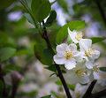 Crabapple blooms Royalty Free Stock Photo