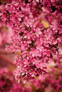 Crabapple flowers closeup in spring garden Royalty Free Stock Photo
