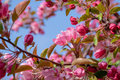 Crabapple tree in bloom Royalty Free Stock Photo