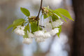 Crabapple tree flowers. Malus prunifolia, chinese apple branch with white flowers and green leaves. Soft focus Royalty Free Stock Photo