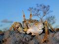 Crabe d'ordinateur de secours sur des roches Images libres de droits