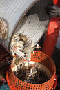 Crabs being emptied into a crab pot tipped from steel bucket Stock Photo