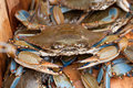 Crabs in a bushel of with close up of one Stock Image