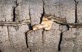 Cracked beech bark closeup Royalty Free Stock Photo