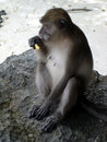 Cracker monkey Royalty Free Stock Images