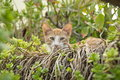 Crafty red cat in the bushes Royalty Free Stock Photo