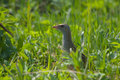 Crake in grass corn the summer Stock Image