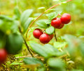 Cranberries Stock Images
