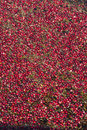 Cranberries in the Bog Stock Images