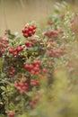 Cranberries on bush