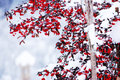 Cranberries cover in snow artistic photo of cover in snow in romania Royalty Free Stock Image