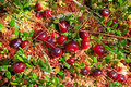 Cranberries in fen wild ripe ecologically clean environment Stock Photography