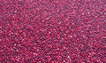 Cranberry bog cranberries floating in water abstract background wallpaper Stock Photo