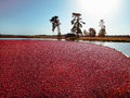 Cranberry Bog Sunset Landscape Royalty Free Stock Images