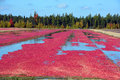 Cranberry farm Royalty Free Stock Photo