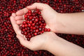 Cranberry in palms fresh close up Royalty Free Stock Images