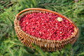 Cranberry photo thanksgiving day stock photos pumpkin card squash with red arrow wood berries decoration Royalty Free Stock Photo
