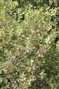 Cranberry Tree Branches Backgr...