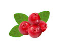 Cranberry on white background drawing by illustration Royalty Free Stock Photography