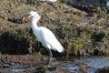 Crane bird catching a fish on California beach Royalty Free Stock Photos