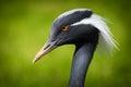 Crane bird Royalty Free Stock Photo