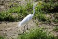 Crane bird white on dirt with green grass Royalty Free Stock Photos