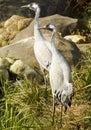 Crane Birds Royalty Free Stock Photo