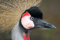 Crane close up detail profile portrait of african crowned Stock Images