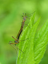 Crane flies mating on a leaf closeup of Stock Photography