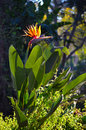 Crane Flower or Bird of Paradise in the Evening Sun Royalty Free Stock Photo